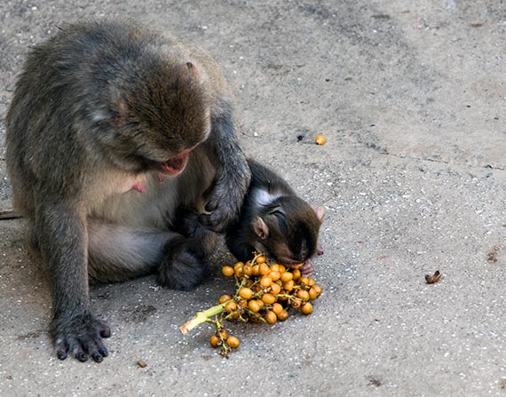 Baby monkey eating grapes at the Rome Zoo